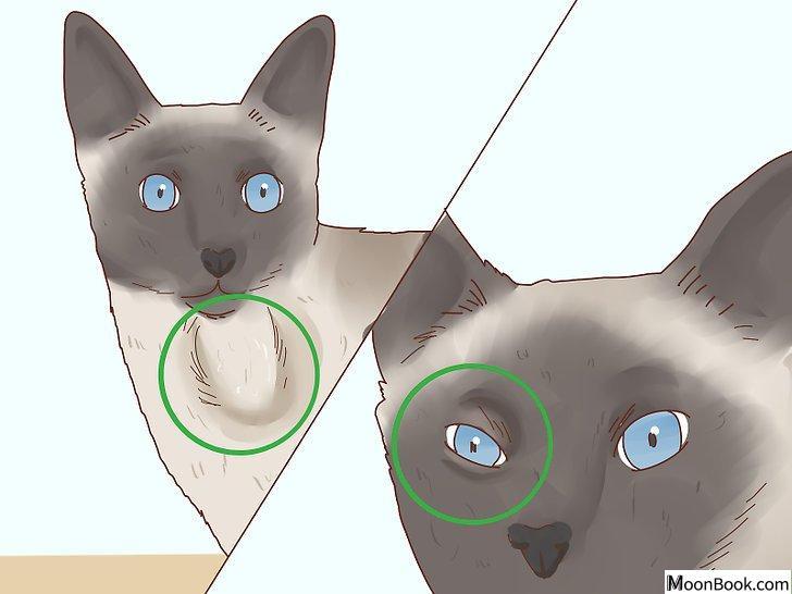 以Decide if a Siamese Cat Is Right for You Step 3为标题的图片
