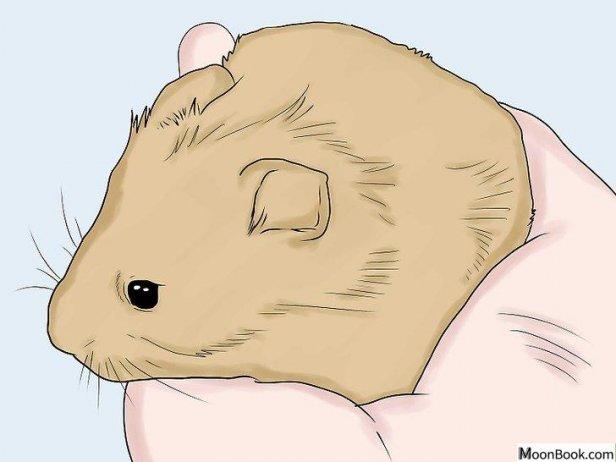 如何培育仓鼠